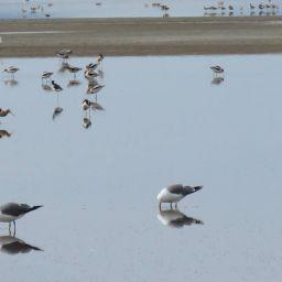 owens lake gull pano_mprather