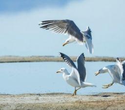seagulls landing