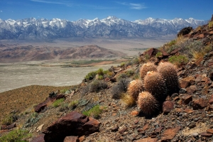cactus in white mountains overlooking owens valley
