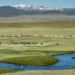 Cattle Grazing in Long Valley near Upper Owens River.
