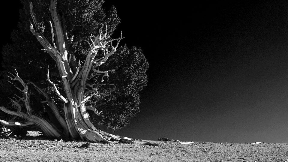 Black and white Whitebark pine