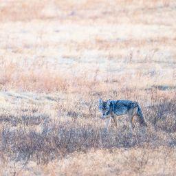 Coyote - brett-sayles-6124724